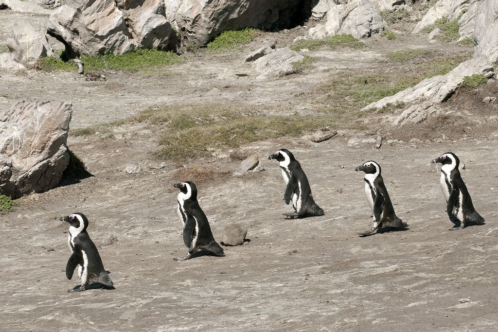 Betty's Bay, african penguins
